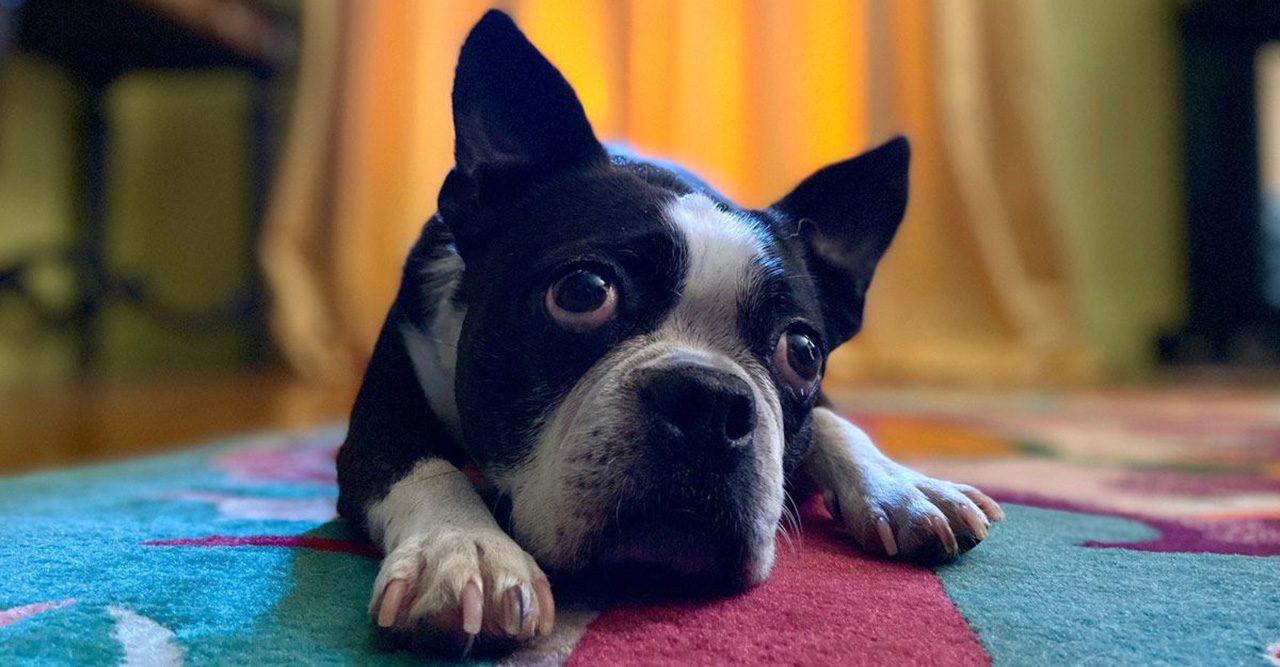 Nya Iphone 11 har ett porträttläge för ditt husdjur